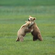 Alaska brown bear (Ursus middendorffi) cubs playing in the grass. Katmai National Park & Preserve, Alaska