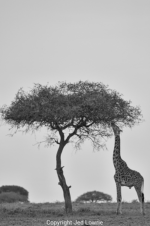 Ask and you shall receive. I envisioned this shot before we left the States. We watched this nineteen foot giant saunter over 300 yards in the direction of the acacia tree pictured. I was politely asking him to stop and taste the fare for the duration of his walk. Needless to say I was more than excited when he listened.