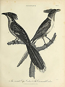 Cuculus [cuckoos] 1. Crested Cape Cucoo 2. Coromandel Cuckoo Copperplate engraving From the Encyclopaedia Londinensis or, Universal dictionary of arts, sciences, and literature; Volume V;  Edited by Wilkes, John. Published in London in 1810