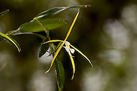 Largest of the native epidendrums, this orchid is very frustrating to photograph, because it seems that the only ones that are found low enough to shoot easily wilt before opening.