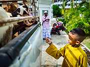 "22 AUGUST 2018 - GEORGE TOWN, PENANG, MALAYSIA:  A child feeds goats destined for ritual sacrifice during Eid al-Adha at Kapitan Keling Mosque in George Town. It is the oldest mosque in George Town. Eid al-Adha, ""Feast of the Sacrifice"" is the second of two Islamic holidays celebrated worldwide each year. It honors the willingness of Ibrahim (Abraham) to sacrifice his son as an act of obedience to God's command.     PHOTO BY JACK KURTZ"