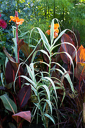 Arundo donax var. versicolor syn. A.donax 'Variegata'  with Canna 'Durban' and Cyperus papyrus in the Exotic Garden at Great Dixter. Canna also known and marketed as C. Tropicanna and C. Phasion