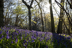 Bluebells bloom in early morning sunlight in Sulham Woods on 23rd April 2021 in Sulham, United Kingdom. The UK is home to over half of the world's population of bluebells, split between the native English or British bluebell (Hyacinthoides non-scripta), as seen in Sulham Woods, which is protected under the Wildlife and Countryside Act 1981, and the fast spreading Spanish bluebell (Hyacinthoides hispanica).