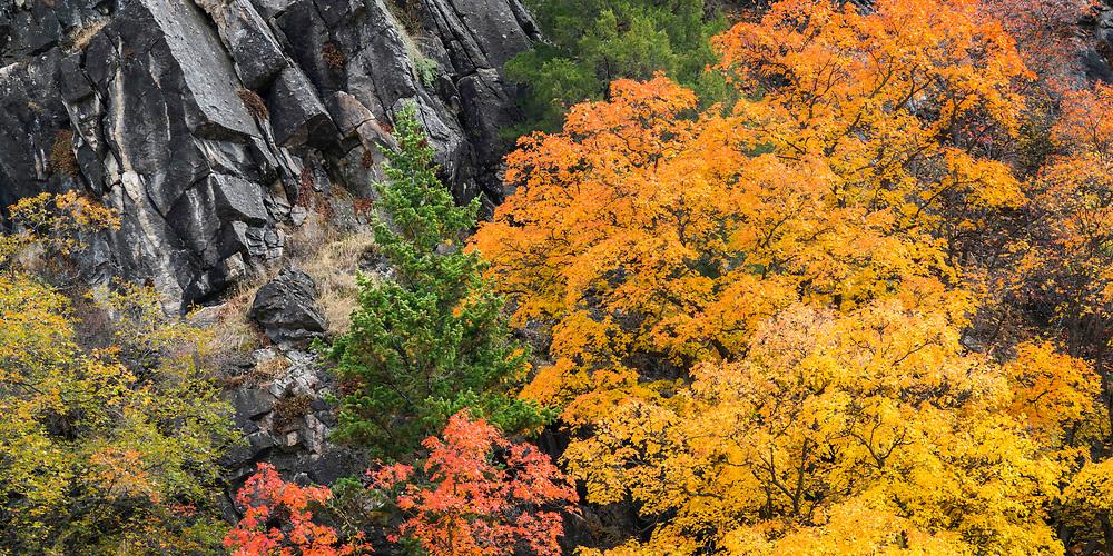 Vibrant colors of Fall flourish among the hard rock in Logan Canyon in Northern Utah.