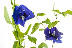 Blue Butterfly Pea, clitoria ternatea#11