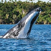 Humpback whale (Megaptera novaeangliae) executing a forward face-flop breach.