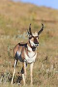 Buck Pronghorn (antelope) exhibited Flehman Response during autumn rut.