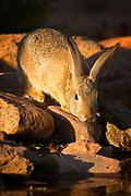 Desert Cottontail (Sylvilagus audubonii) Amado, Arizona<br /> animals<br /> wildlife<br /> mammals<br /> rabbit