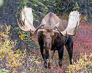 Alaskan bull moose prepares to charge the camera during the rut.