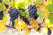 Nebbiolo grapes, which are used in the making of world-famous wines Barolo and Barbaresco, grow from a leafy vine near La Morra, Italy.