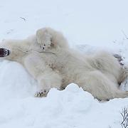 Polar bear (Ursus maritimus) in a day bed. Churchill, Manitoba, Canada