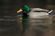 Mallard duck drake or male, Anas platyrhynchos, Båtsfjord village harbour, Varanger Peninsula, Norway, Scandinavia