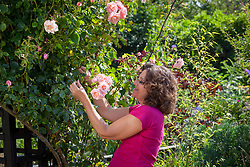 Tying in a climbing rose
