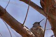 Photograph of Anna's Hummingbird at Patagonia Lake State Park AZ