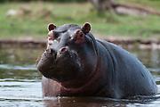 An alert hippopotamus, Hippopotamus amphibius.