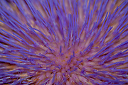 Closeup of an artichoke [globe artichoke (Cynara cardunculus var. scolymus)] flower