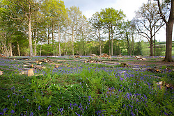 Bluebells in a clearing in a wood at Sissinghurst. Hyacinthoides non-scripta
