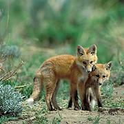 Red Fox, (Vulpus fulva) Pair of fox pups playing together near den. Spring.
