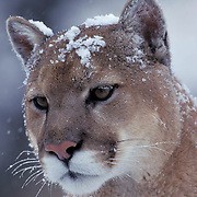 Mountain Lion or Cougar, (Felis concolor) Portrait of adult in Rocky mountains. Montana.  Captive Animal.