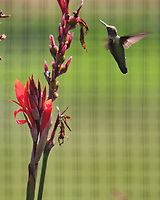 Ruby-throated Hummingbird. Image taken with a Fuji X-T4 camera and 100-400 mm OIS lens.