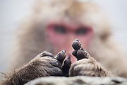 A close-up of a pair of hands of a snow monkey sitting in a hot spring (Macaca fuscata) , Jigokudani, Yamanouchi, Japan