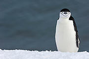 A single Chinstrap Penguin (Pygoscelis antarctica) standing on snow, Half Moon Bay, Half Moon Island, Antarctica.
