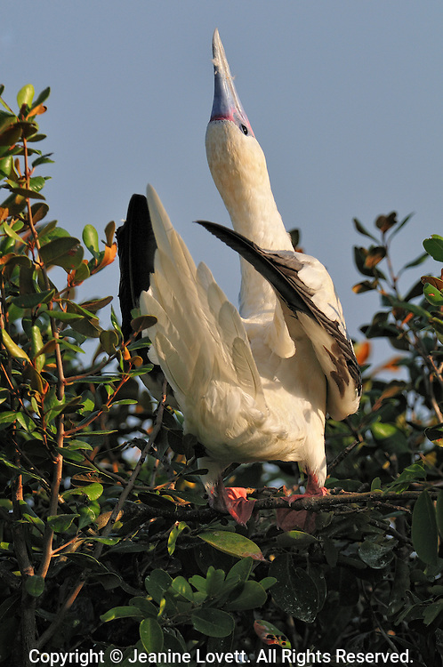 red footed booby bird portrait throwing its head back and calling out.