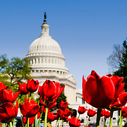 Red tulips in full bloom in the spring in front of the US Capitol Building dome in Washington DC against a clear blue sky. The focus is on the tulips in the foreground.