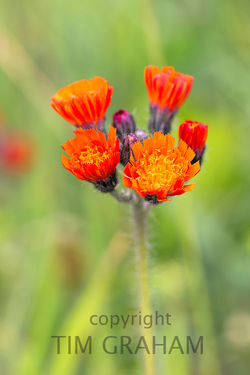 Orange colour perennial wildflowers in bloom in summer in Gloucestershire, UK