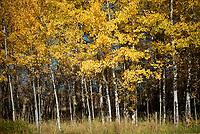 Aspens reflect the changing season on Fall Creek Road.