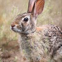Sylvilagus audubonii, Hidalgo County, south Texas, May 2019