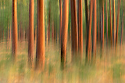"""This image from my """"Impressions Of Nature"""" gallery was produced by a long exposure and intentional camera movement, to create a sense of color in motion from a stand of ponderosa pines at sunrise, near Black Butte, Oregon."""