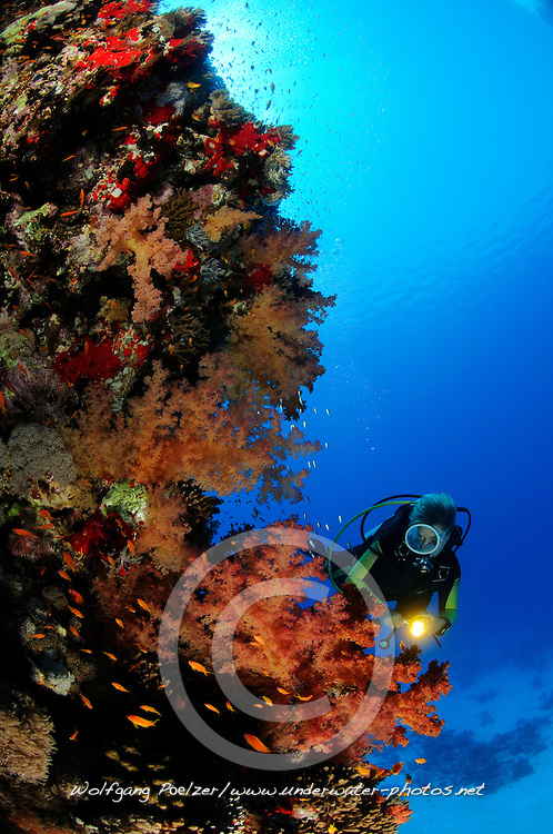 coral reef with soft corals, Dendronephthya hemprichi, and scuba diver, El Quseir, Egypt, Red Sea, MR