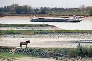 Nederland, Millingen aan de Rijn, 29-11-2018 Een wild konikpaard, konik, paard, staat op een krib langs het water . Nog nooit stond het water in de Waal zo laag . Binnenvaartschepen varen ver onder de capaciteit. Door de aanhoudende droogte staat het water in de rijn, ijssel en waal extreem laag . Laagterecord en de laagste officiele stand ooit bij Lobith gemeten. Schepen moeten minder lading innemen om niet te diep te komen . Hierdoor is het drukker in de smallere vaargeul . Door te weinig regenval in het stroomgebied van de rijn is het de waterafvoer extreem weinig . De Waal is het Nederlandse deel van de Rijn en de belangrijkste vaarroute van en naar Rotterdam en Duitsland . Aftakkingen zijn de minder bevaren Nederrijn en IJssel. De levering, aanvoer van vracht, lading,grondstoffen, voor fabrieken en brandstof wordt problematisch. Foto: Flip Franssen