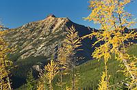 Subalpine Larch (Larix lyallii) in autumn,North Cascades Washington
