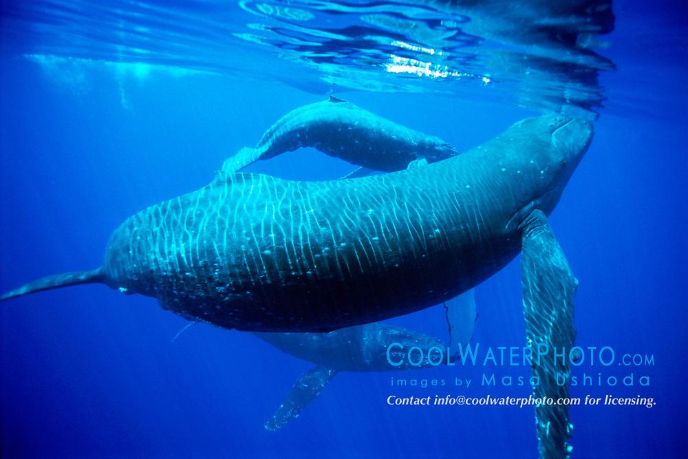 humpback whales, mother, calf and escort, Megaptera novaeangliae, Hawaii, Pacific Ocean