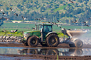 Israel, Hula Valley, a tractor spreading corn grain to feed a large flock of Eurasian Cranes. The feeding is down to reduce the damages these migrating birds do to the nearby agricultural fields