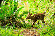 Blacktailed Deer Fawn in Olympic National Park, Washington.
