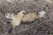 Bat-eared fox<br /> Otocyon megalotis<br /> 4 week old pup(s)<br /> Masai Mara Reserve, Kenya