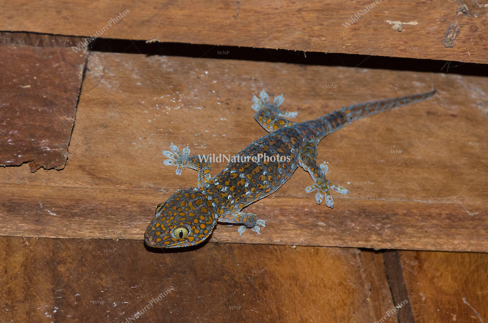 The massive Tokay gecko (Gekko gecko) can be heard and seen at night in most rural areas of Cambodia. (Tmatboey, Cambodia)