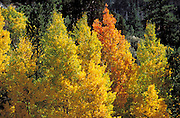 Yellow and orange fall aspens near June Lake, Inyo National Forest, Sierra Nevada Mountains, California