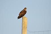 Swainson's hawk Swainson's hawk (Buteo swainsoni) on fence post on Prairie. <br />Neidpath<br />Saskatchewan<br />Canada