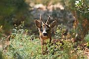 Israel, Carmel Mountain, European Roe Deer (Capreolus capreolus) Reintroduced in the national ark in 1998