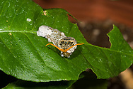 "Giant Swallowtail Caterpillar (Papilio cresphontes), aka the ""bird poop"" caterpillar, feeds on citrus leaves and displays its ""osmeterium."" (Arizona)"