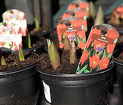 Potted tulip plants on sale in a garden centre, UK
