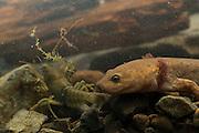 Neotenic or paedomorphic adult pacific giant salamander (Dicamptodon tenebrosus) stalking a signal crayfish (Pacifastacus leniusculus). Salamanders are aggressive predators and will attack and eat various large prey. Photographed in the Columbia River Gorge, Oregon.