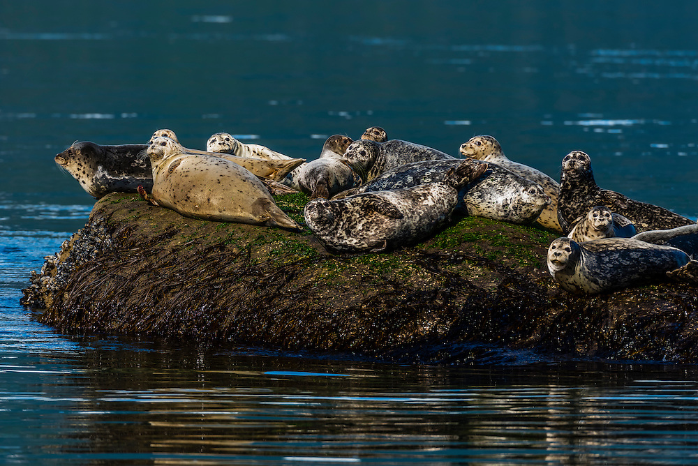 Seals basking on a rock near Taiya Point, near Haines on the Lynn Canal (the deepest fjord in North America), southeast Alaska USA.