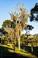 Árvore coberta pela planta barba de velho (Tillandsia usneoides). Urubici, Santa Catarina, Brasil. / Tree covered by spanish moss plant (Tillandsia usneoides). Urubici, Santa Catarina, Brazil.