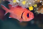Soldierfish (Myripristis murdjan)
