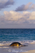 green sea turtle, Chelonia mydas, <br /> comes ashore to nest,<br /> Flinders Reef, Australia ( Coral Sea )